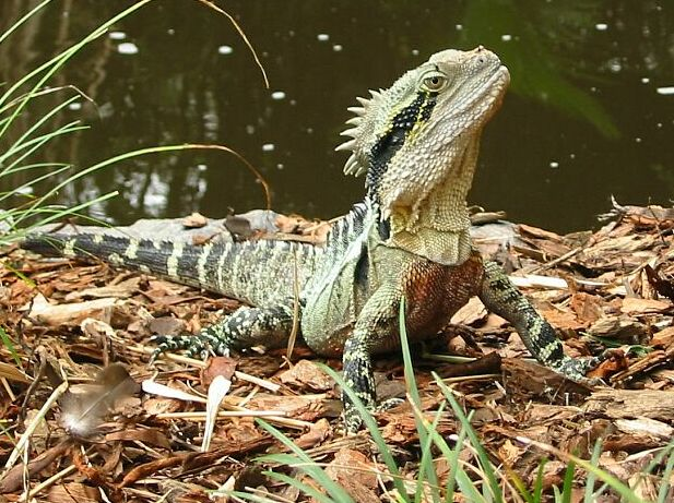 Australian Water Dragon: Free Embroidery Designs, Cute Embroidery Designs